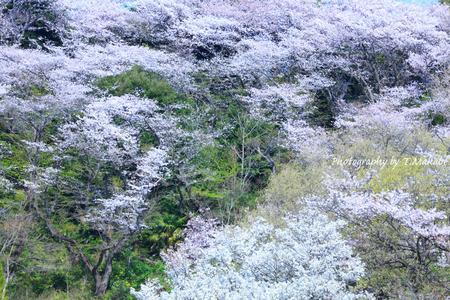 1789-1★三ッ池公園の桜.JPG