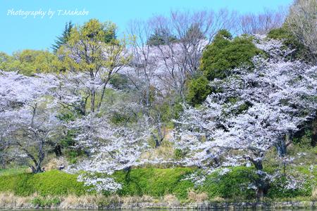 1791-1★三ッ池公園の桜ソメイヨシノ.JPG