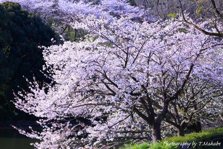 1792-1★三ッ池公園の桜ソメイヨシノ.JPG