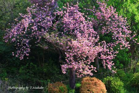 1793★三ッ池公園の八重桜.JPG