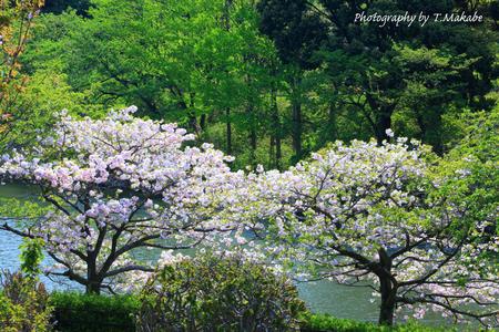 1794★三ッ池公園の八重桜.JPG