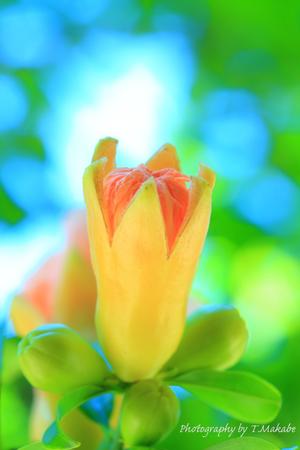 1811-1★三ッ池公園のザクロの花.JPG