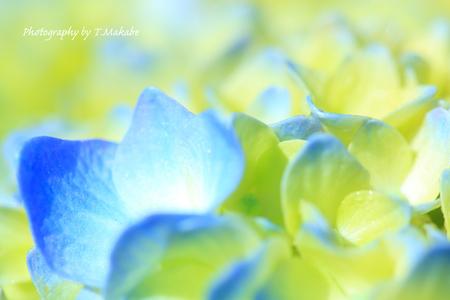 1815-1★三ッ池公園のアジサイ.JPG