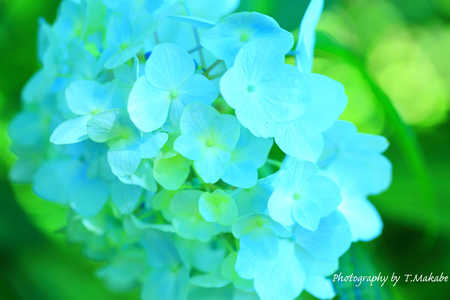 1824-1★三ッ池公園のアジサイ.JPG
