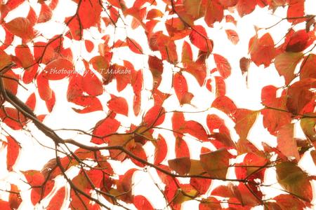 1864-1★三ッ池公園ハナミズキの紅葉.JPG