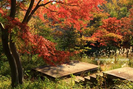 1885-1(Z)★三ッ池公園の紅葉とススキ.JPG
