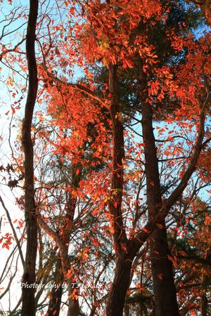 1905-1★三ッ池公園コナラの紅葉.JPG