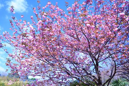 1933-1★三ッ池公園の里桜.JPG