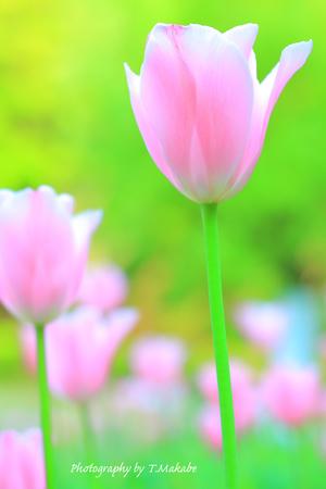 1948-1★三ッ池公園ピンクのチューリップ.JPG