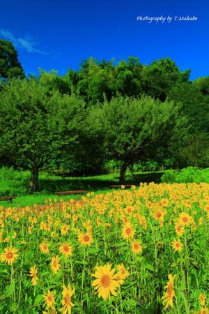 1991-1★三ッ池公園のヒマワリ畑.JPG