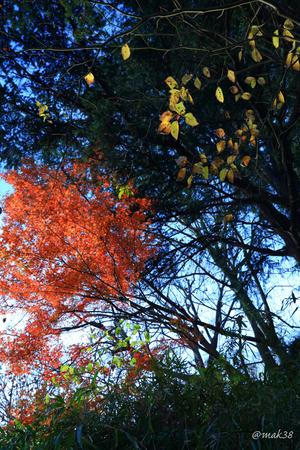 2065-1★三ツ池公園カエデの紅葉.JPG